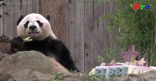 Tiệc chia tay dành cho gấu trúc Panda Bei Bei