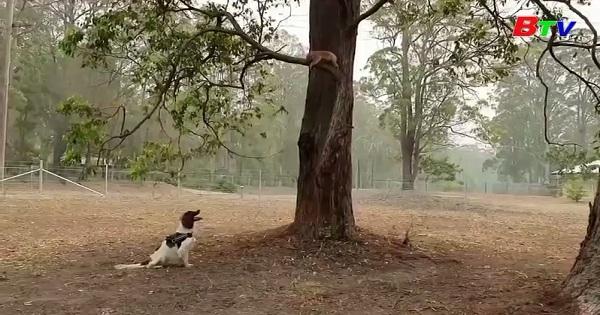 Gặp gỡ chú chó Taylor tìm gấu Kaola sau thảm họa cháy rừng ở Australia