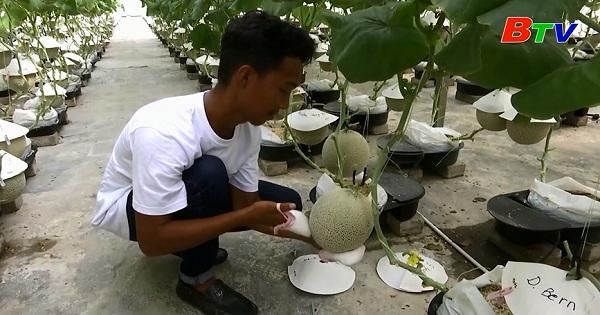 Nông dân Malaysia thử nghiệm thành công giống dưa lưới Nhật Bản