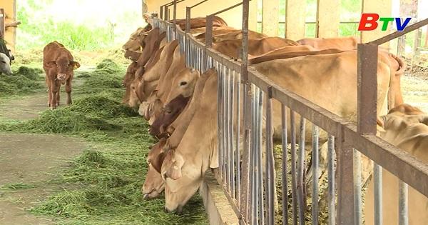 Phòng bệnh cho trâu, bò trong mùa mưa