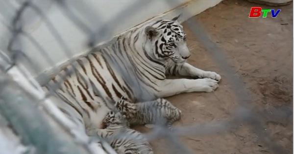 Sở thú Mexico ra mắt hai chú hổ Bangal con