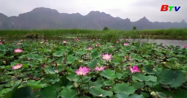 Sự trở lại của hoa sen hồng tại một công viên quốc gia ở Thái Lan
