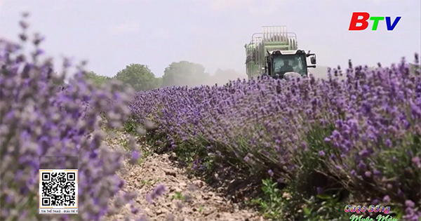 Bulgaria nỗ lực đầu tư những cánh đồng hoa oải hương hữu cơ