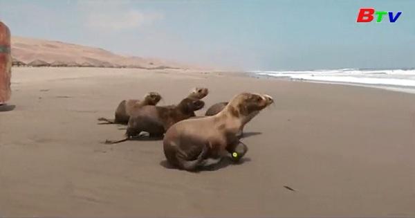 Peru -Thả sư tử biển về với đại dương