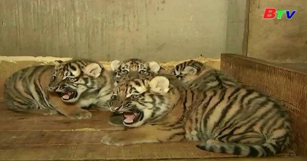 Lứa cọp Siberi sinh 5 ở sở thú Long Sa