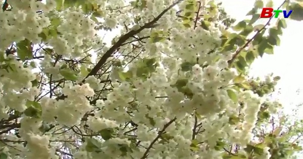 Hoa anh đào khoe sắc xanh hiếm thấy ở Trung Quốc