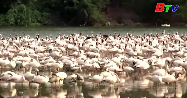 Ngắm chim Hồng Hạc di cư đến Ấn Độ