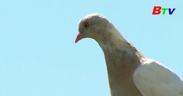 Chú chim bồ câu bay lạc từ Mỹ tới tận Australia