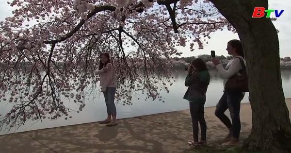 Ngắm hoa anh đào ở Washington D.C giữa mùa dịch