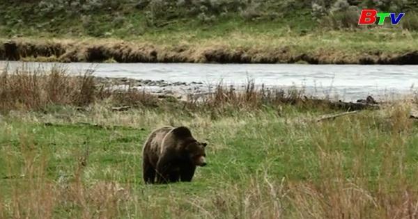 Gấu xám Yellowstone ở Mỹ sẽ bị đưa ra khỏi danh sách bảo vệ liên bang