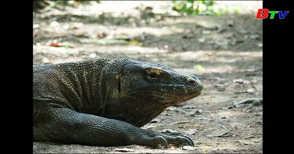 Indonesia sẽ đóng cửa đảo Komodo để bảo tồn hệ sinh thái