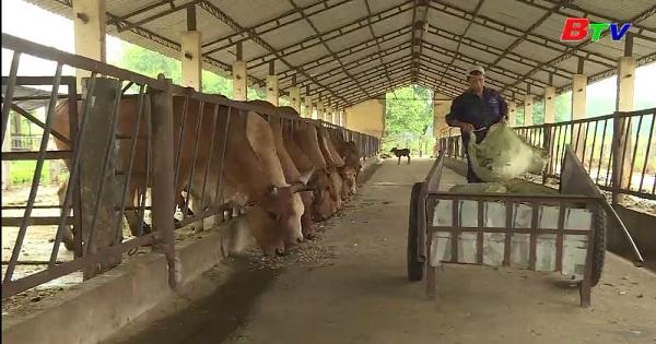 Ủ thức ăn lên men cho gia súc từ nguyên liệu quả điều