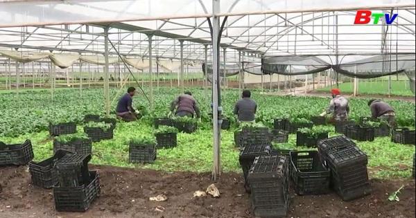 Nông dân trồng rau Italia điêu đứng vì dịch bệnh