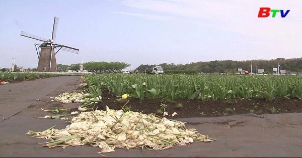 Nhật Bản cắt bỏ 100.000 ngàn bông hoa Tulip để tránh du khách tập trung