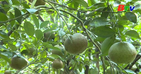 Trái cây có múi Bắc Tân Uyên - Tự tin khẳng định thương hiệu