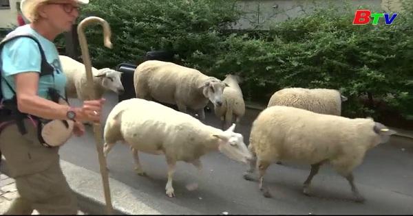 Đáng yêu đàn cừu tham qua thủ đô Paris