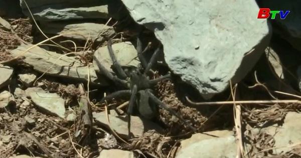 Biến đổi khí hậu - loài nhện núi khổng lồ đối mặt với nguy cơ tuyệt chủng