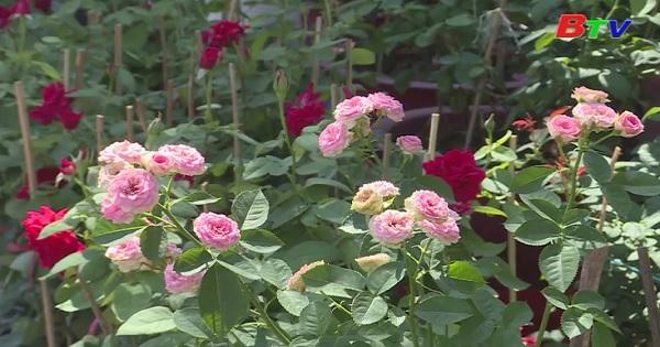 Cách chăm sóc hồng ngoại và hồng cổ
