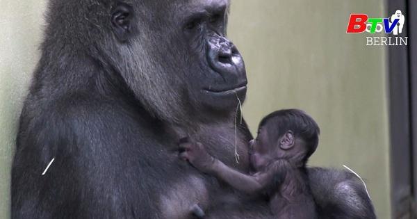Vườn thú Berlin chào đón khỉ đột con đầu tiên sau 16 năm