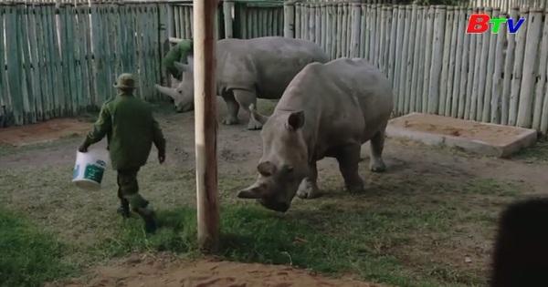 Kenya - Dự án bảo tồn tê giác trắng phương Bắc gặp trở ngại do covid-19